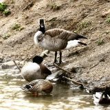 Altered Geese