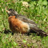 Lovely Little Robin